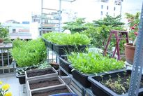 Mát mắt với vườn rau trên sân thượng nhà 5 tầng giữa TP HCM