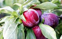 Cây mận: Thuốc quý từ rễ đến hạt