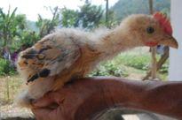 Lật tẩy thủ đoạn 'hô biến' gà công nghiệp thành gà Đông Tảo quý