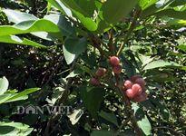 Cận cảnh loại trái hoang có tên 'no say'