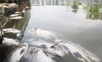 Bắc Giang: Xuất hiện cá rô phi chết rải rác