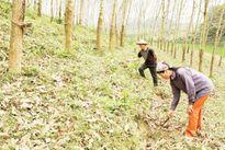 Sắp xếp, đổi mới các công ty nông, lâm nghiệp: Đủ điều kiện phá sản nhưng thiếu chế tài