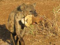 Kinh hãi linh cẩu ngoạm đầu sư tử thối rữa đi ăn