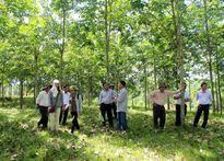 Quảng Nam bàn cách giúp người trồng cao su vượt khó