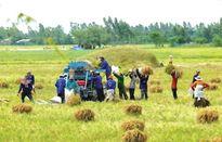 Nông dân hồ hởi với chương trình canh tác lúa thông minh