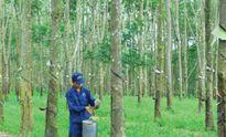 Hướng dẫn miễn tiền thuê đất cho vườn cao su tái canh