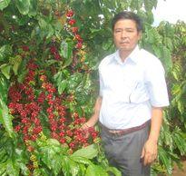 Vườn cây cà phê 32 năm đạt năng suất trên 4 tấn/ha