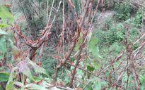 Sơn La: Châu chấu tấn công nhiều diện tích hoa màu của nông dân