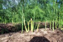Hiệu quả kinh tế từ trồng măng tây xanh ở Phú Xuyên, Hà Nội