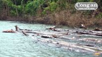 Làm rõ thêm về đường dây tận diệt rừng nguyên sinh