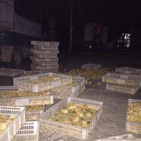 Tiêu hủy 18.000 con gà con giống nhập lậu từ Trung Quốc