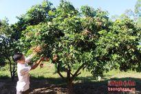 Nhãn lồng trồng ở Quỳnh Lưu, mỗi gốc đạt gần 200 kg