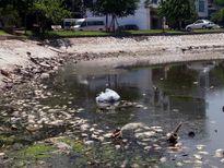 Hà Nội: Hồ Ba Mẫu lại ngập ngụa rác rến và xác cá chết