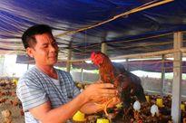 Gà Tân Hồ, thịt thơm, ngon, chỉ nuôi 3 tháng là xuất bán