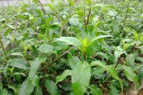 Bầu đất: Loài rau chữa 'bách bệnh' ít người biết đến