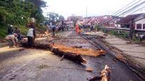 Thông tin thêm về thông cổ thụ 'quật ngã' hàng loạt cột điện ở Lâm Đồng