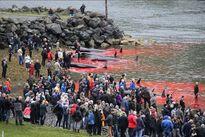 Thảm sát 120 cá voi ở Đan Mạch, cả vùng biển đỏ máu