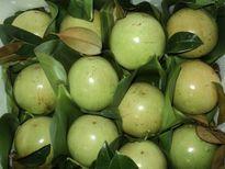 Trái vú sữa Việt Nam sẽ lên đường sang Mỹ từ quý IV/2016