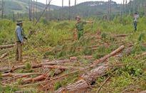 Doanh nghiệp chặt thông trái phép trong rừng phòng hộ Lâm Đồng
