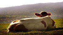 """Vì sao nước tiểu bò được săn lùng như """"vàng"""" ở Ấn Độ?"""