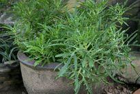 Những loài cây cỏ trừ tà ma của người Thái