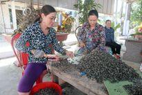 Quảng Nam: Thương lái đổ xô mua ốc đinh xuất khẩu
