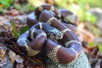 Cuộc đụng độ 'tử thần' giữa rắn vua và đuôi chuông