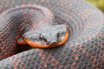 Màn giả chết xảo quyệt của loài rắn 'có họ' với hổ mang chúa
