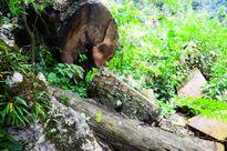 Đau lòng nạn chặt cây gỗ nghiến hàng trăm tuổi để làm thớt