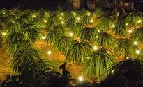 Ứng dụng đèn compact ánh sáng đỏ: Giảm 50% điện năng, tăng 60% khả năng thụ phấn