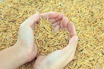 Giá gạo châu Á giảm do nhu cầu yếu, gạo Mỹ tăng mạnh nhất 5 năm