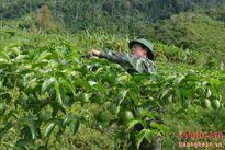 Cây chanh leo bén đất Nhôn Mai