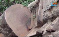 Xử lý nghiêm khai thác rừng trái phép tại Điện Biên