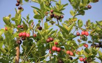 """""""Ngưỡng mộ"""" vườn quả sai trĩu quả trên sân thượng của chị em"""