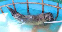 Con hải cẩu quý hiếm mới bắt được ở Quảng Nam giờ ra sao?