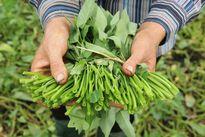 Chứng chỉ VietGAP ở Việt Nam mua bán như mớ rau ngoài chợ
