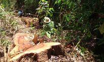 Phó Thủ tướng yêu cầu sớm xét xử vụ phá rừng ở Lâm Đồng