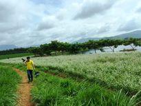 Sửng sốt với vẻ đẹp cánh đồng hoa tam giác mạch nở sớm ở Lâm Đồng