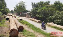 Hàng trăm khối gỗ tập kết la liệt trên đê sông Lam