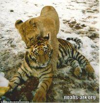 15 năm chơi thân: Hổ, gấu đau lòng từ biệt sư tử