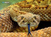 Cám cảnh rắn độc Viper bị kẻ thù nhẹ ký 'làm thịt' ngon lành