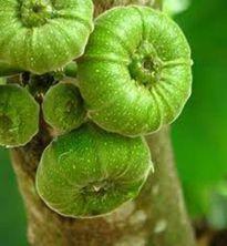 Ăn trái vả thường xuyên nhưng ít ai biết công dụng thần kỳ này của nó