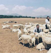 5 đồng cừu đẹp như trời Âu 'chụp hình tung chảo' ở Việt Nam