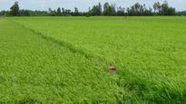 ĐBSCL: 'Cánh đồng lớn' đã lớn nhưng chưa mạnh