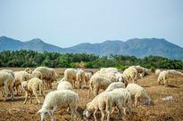 Cánh đồng cừu mới toanh khiến giới trẻ Sài thành háo hức