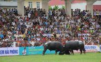 Kịch tính những kháp đấu tại lễ hội chọi trâu Đồ Sơn