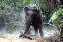 Sơn La: Voi rừng liên tục tấn công người dân, giết gia súc, phá hoại hoa màu