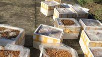 Hơn 500 kg nhộng tằm bốc mùi hôi thối đi xe khách bị bắt giữ