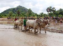 Kịch tính giải đua bò chùa Rô vùng Bảy Núi