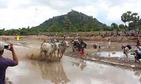 Đua bò ở Bảy Núi: Nét văn hóa truyền thống của đồng bào Khmer An Giang